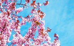 与桃红色的春天树开花有蝴蝶的杏仁开花在绿色背景的一个分支,在与每日光的蓝天 库存图片