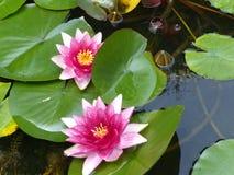 与桃红色细微差异的开阔水域百合在池塘 免版税库存照片