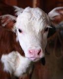 与桃红色舌头(小牛)的母牛 库存图片
