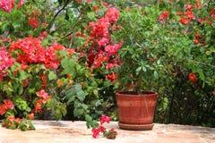 与桃红色花和盆的植物的灌木 免版税图库摄影