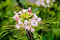 与桃红色花开花的仙人掌 免版税库存图片