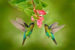 与桃红色花的两只蜂鸟鸟 蜂鸟火热红喉刺莺的蜂鸟,飞行在美丽的绽放花旁边, Savegre, Co