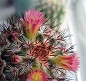 与桃红色花的仙人掌。 库存图片