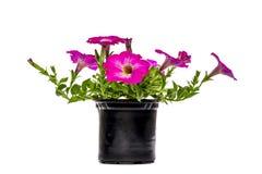与桃红色花的喇叭花在罐 库存图片