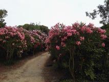 与桃红色花的大道 免版税库存图片