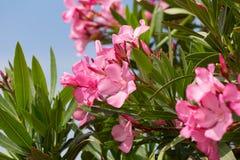 与桃红色花的夹竹桃灌木 免版税库存图片