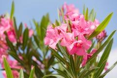 与桃红色花的夹竹桃灌木 免版税库存照片