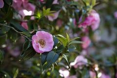 与桃红色花的山茶花灌木 免版税库存照片