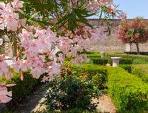 与桃红色花的开花的树在庞贝城从事园艺,意大利 开花和春天概念 有树和flowe的古老罗马后院 库存图片