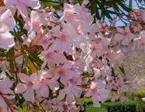 与桃红色花的开花的树在庞贝城从事园艺,意大利 开花和春天概念 免版税库存照片