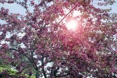 与桃红色花的开花的苹果树在蓝天背景 图库摄影