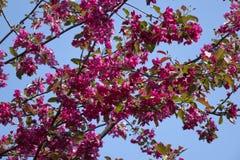 与桃红色花的开花的苹果树在蓝天背景 免版税库存照片