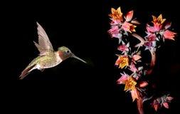 与桃红色花的微小的蜂鸟在黑背景 免版税库存图片