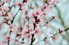 与桃红色花的春天树 库存照片