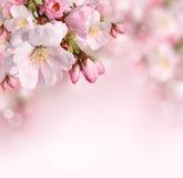 与桃红色花的春天背景 免版税库存照片