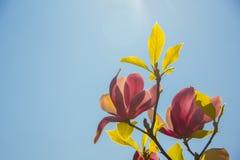 与桃红色花的木兰分支在蓝天背景 免版税图库摄影