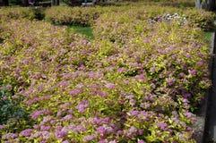 与桃红色花的灌木 免版税库存照片