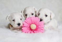 与桃红色花的白色小狗 免版税库存图片