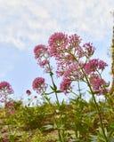 与桃红色花的美好的天空视图 免版税库存图片