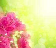 与桃红色花的美好的花卉背景 免版税库存图片