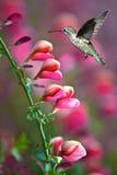 与桃红色花的蜂鸟在绿色背景 库存图片