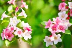与桃红色花的进展的樱桃分支 免版税图库摄影