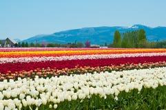 与多彩多姿的花的郁金香领域,在洗涤的郁金香节日 库存照片