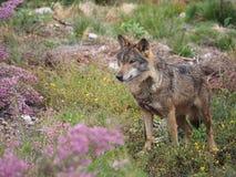 与桃红色花的野生狼 免版税库存照片