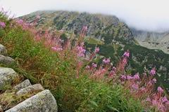 与桃红色花的风景在Tatras山 库存照片