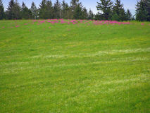 与桃红色花的绿色领域 库存照片