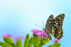 与桃红色花的蝴蝶 图库摄影