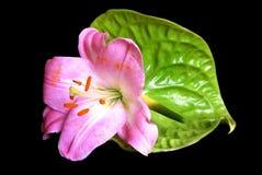 与桃红色花的Anthurieae在黑色 库存图片