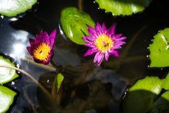 与桃红色莲花的三只蜂在水池 免版税库存照片