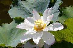 与桃红色莲花的白色 免版税库存图片