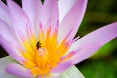 与桃红色莲花的蜂 库存图片