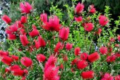 与桃红色蓬松花的美丽的树关闭  免版税库存照片