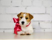 与桃红色衣领和丝带的粗砺的杰克罗素狗 库存照片