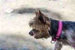 与桃红色衣领的家庭狗走在街道上的 库存图片