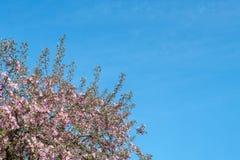 与桃红色进展的分支的开花的苹果树在春天的晴天反对蓝天 与花的背景在绽放 库存图片