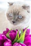 与桃红色郁金香春天的一只好的colorpoint猫开花 免版税库存图片
