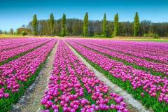 与桃红色郁金香的意想不到的春天风景在荷兰,欧洲调遣 库存照片