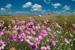 与桃红色野花的夏天风景 库存照片