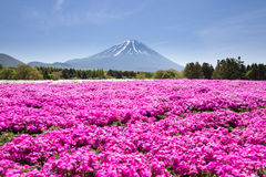 与桃红色青苔佐仓或有山的富士山梨,日本樱花的领域的日本Shibazakura节日 免版税库存图片