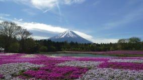 与桃红色青苔的领域的富士山 影视素材
