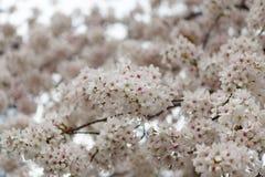 与桃红色颜色的樱花背景 免版税图库摄影