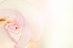 与桃红色颜色的白色玫瑰花瓣边缘背景的 图库摄影