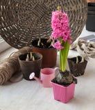 与桃红色风信花的庭院静物画 库存图片