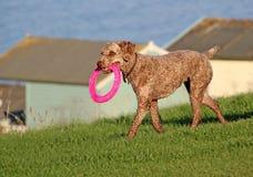 与桃红色飞碟玩具的狗 免版税库存图片
