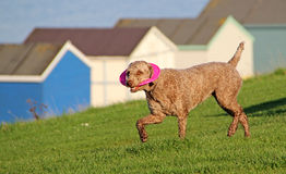 与桃红色飞碟玩具的狗 库存图片