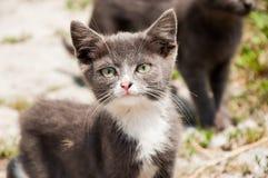 与桃红色鼻子的小白灰色无家可归的猫 免版税图库摄影